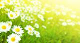 Camomiles flowers field