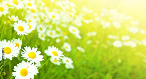 Fotobehang Madeliefjes Camomiles flowers field