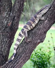 Leguaan or Water Monitor Reptile