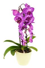 Orchidee lila im Blumentopf