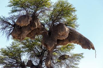 African sociable weaver big nest on tree