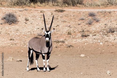 Foto op Canvas Antilope Gemsbok, Oryx gazella