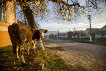 Cow in a village