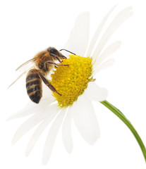 Honeybee and white flower