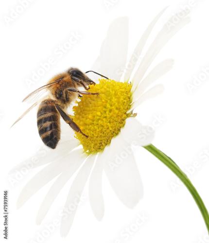 Honeybee and white flower - 75939146