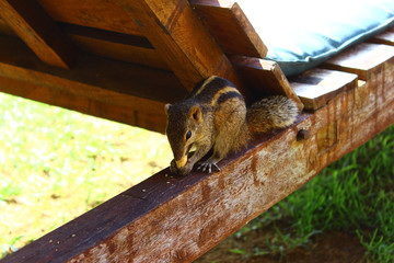 Пальмовая белка грызёт орех на Шри Ланке