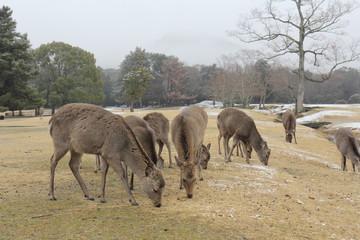 奈良公園 飛火野の鹿