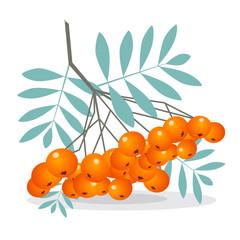 Rowan Berries Vector Illustration Isolated on White Background