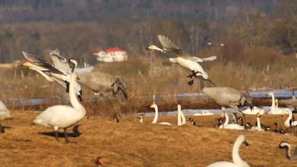 Frühling in Schweden - Wasservögel