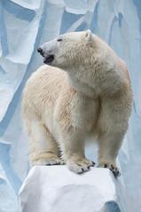 Белая медведица.