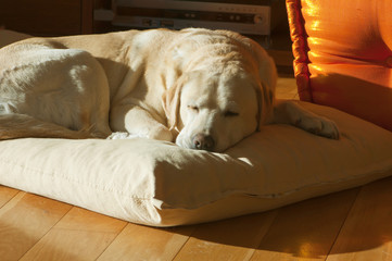 close up of old yellow labrador sleeping on the pillow