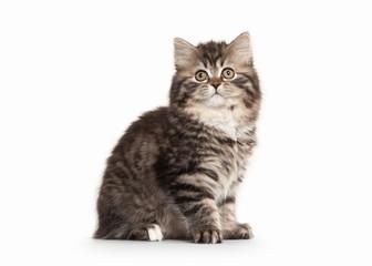 Cat. Scottish highland kitten with white on white background