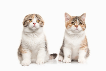 Cat. Two Scottish highland kittens with white on white backgroun