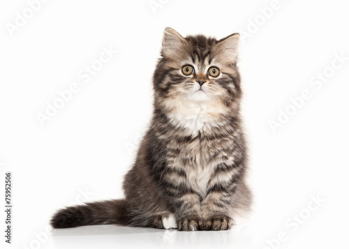 Foto op Canvas Kat Cat. Scottish highland kitten with white on white background