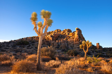 Joshua tree National Park in California USA