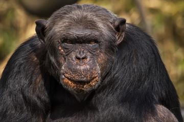 Chimpansee met grappig gezicht.