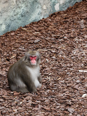Male of Japanese macaque