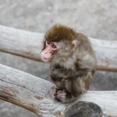 Sad Japanese macaque