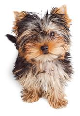 Yorkshire Terrier puppy