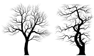 Silhouettes of old huge trees.