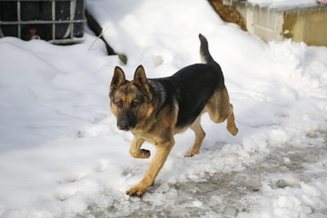 beautiful german shepherd on snow