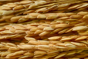 paddy grains
