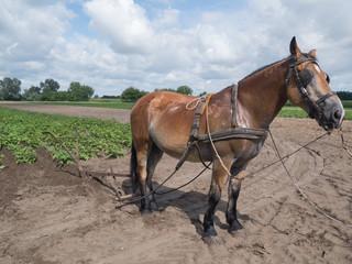 Hungarian brown horse