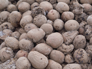 rotting potatoes in the garden