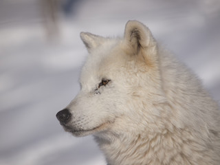 Arctic wolf head in snow