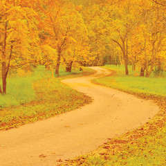 Wallnut trees and footpath in autumn colorful yellow, red leaves