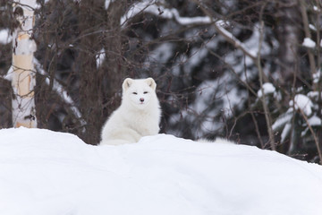 An Arctic fox in a winter landscape