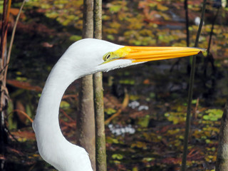 Great Egret at Six Mile Cypress Slough Preserve Florida