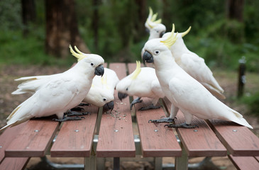 Wild white cockatoos eating seeds on picnic table