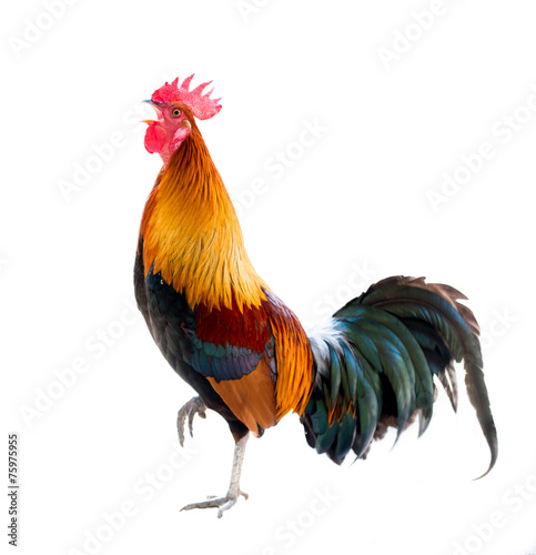 Foto op Aluminium Vogel rooster isolated