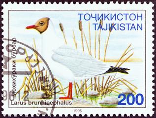 Brown-headed Gull, Larus brunnicephalus (Tajikistan 1995)