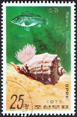 Rapana thomasiana (North Korea 1977)