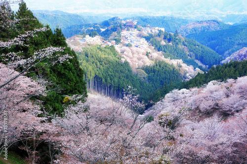 吉野山の桜 - 75978583