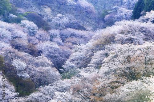 Fotobehang Kersen 吉野山の桜