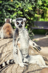 Ring-tailed lemur posing in outdoor scene