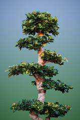 Ficus Benjamina like a Bonsay