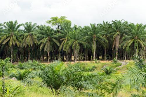 Papiers peints Palmier Palm oil plantation