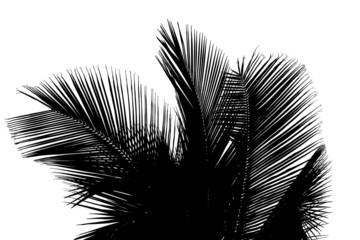 palmes noires de cocotier sur fond blanc