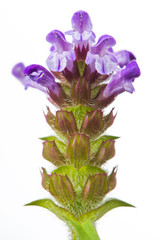 Prunella (Self-Heal) Flower Close-Up on White Background