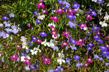 Mixed white, pink and blue lobelia flowers.