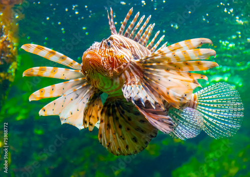 Tuinposter Leeuw a lion fish in the famous aquarium of Barcelona in Spain