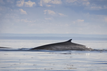 Fin whale, St Lawrence river, Quebec (Canada)