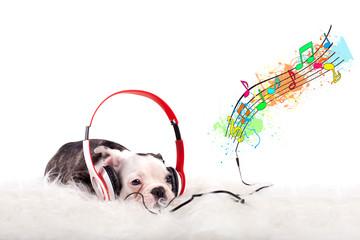 französische Bulldogge hört Musik