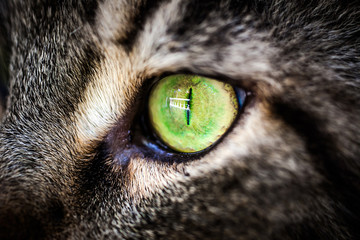 Closeup green eye of Maine Coon black tabby cat . Macro