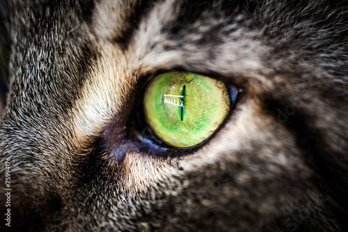 Foto op Aluminium Lynx Closeup green eye of Maine Coon black tabby cat . Macro