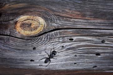 black ant on wood background